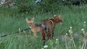 El terrier de juguete del gato y del perro de Bengala camina en hierba verde almacen de metraje de vídeo