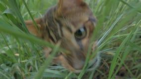 El terrier de juguete del gato y del perro de Bengala camina en hierba verde metrajes