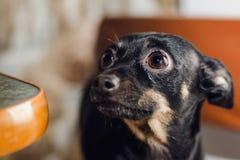El terrier de juguete negro de la raza del pequeño perro se sienta en las tablas foto de archivo libre de regalías