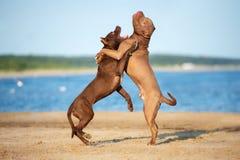 El terrier de pitbull americano dos persigue jugar junto en la playa imagen de archivo libre de regalías