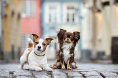 El terrier de Russell de la chihuahua y del enchufe persigue la presentación en la ciudad Fotografía de archivo libre de regalías