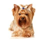 El terrier de Yorkshire imagen de archivo libre de regalías