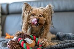 El terrier de Yorkshire está jugando con un juguete en la cama Foto de archivo