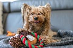 El terrier de Yorkshire está jugando con un juguete en la cama Foto de archivo libre de regalías