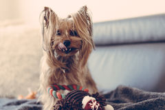 El terrier de Yorkshire está jugando con un juguete en la cama Fotografía de archivo