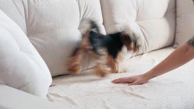El terrier de Yorkshire juega en el sofá metrajes