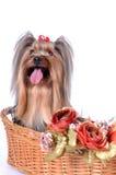 El terrier de Yorkshire se sienta en una cesta Fotos de archivo libres de regalías