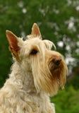 El terrier escocés Fotos de archivo libres de regalías