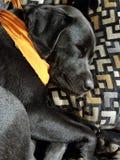El terrier galés ayuna dormido Fotos de archivo