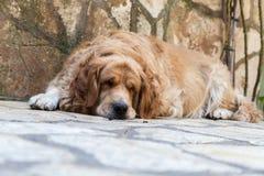 El terrier galés ayuna dormido Fotos de archivo libres de regalías