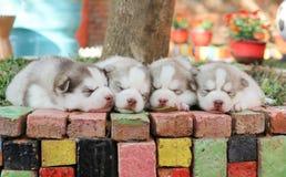 El terrier galés ayuna dormido Foto de archivo