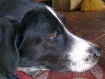 El terrier galés ayuna dormido Imagen de archivo libre de regalías