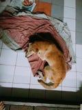 El terrier galés ayuna dormido Imagen de archivo