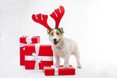 El terrier joven de Jack Russell del perro con los cuernos de los ciervos en el suyo tenía en el fondo blanco Imágenes de archivo libres de regalías
