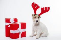 El terrier joven de Jack Russell del perro con los cuernos de los ciervos en el suyo tenía en el fondo blanco Imagen de archivo libre de regalías