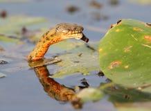 El tessellata del Natrix de la serpiente de los dados cogió un pescado Fotografía de archivo