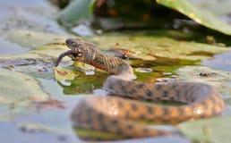 El tessellata del Natrix de la serpiente de los dados cogió un pescado y lo come Imágenes de archivo libres de regalías