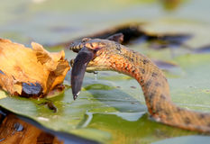 El tessellata del Natrix de la serpiente de los dados cogió un pescado y lo come Foto de archivo