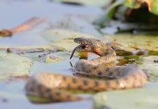 El tessellata del Natrix de la serpiente de los dados cogió un pescado y lo come Imagenes de archivo
