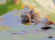 El tessellata del Natrix de la serpiente de los dados cogió un pescado y lo come Fotografía de archivo