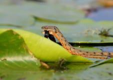 El tessellata del Natrix de la serpiente de los dados cogió un pescado y lo come Fotos de archivo