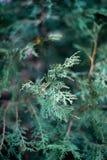 El thuja se va en la opinión del primer Tarde caída, primera nieve Buenos textura y modelo Colores verde oscuro, foto de la luz c imagen de archivo libre de regalías