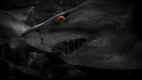 El tiburón nada más allá con los ojos ardientes metrajes