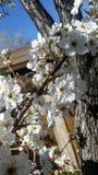 El tiempo de primavera… subió las hojas, fondo natural Fotografía de archivo