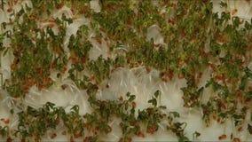 El tiempo traslapa la cámara lenta video o de las semillas que germinan almacen de video