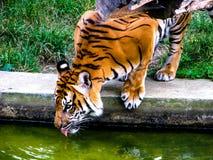 El tigre anaranjado grande bebe el agua Tigre con la leng?eta hacia fuera foto de archivo libre de regalías