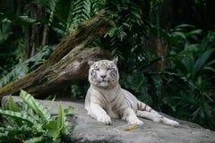 El tigre blanco Foto de archivo