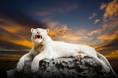 El tigre blanco Foto de archivo libre de regalías