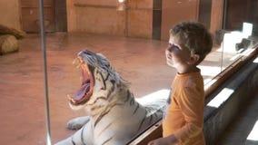 El tigre blanco bosteza en el parque zoológico almacen de video