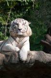 El tigre blanco encendido se relaja. Fotografía de archivo libre de regalías