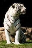 El tigre blanco goza del sol de la tarde Fotos de archivo
