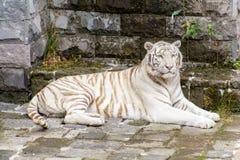 El tigre blanco o el tigre blanqueado es una variante de la pigmentación del tigre de Bengala imagen de archivo