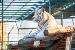 El tigre blanco se sienta encendido abre una sesión la jaula del parque zoológico Fotografía de archivo