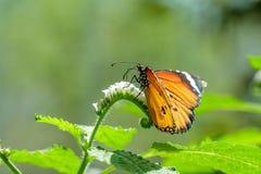 El tigre com?n en las flores blancas es una mariposa com?n imagenes de archivo