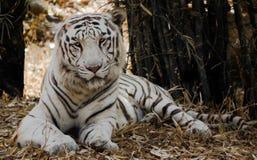 El tigre de Bengala blanco Foto de archivo