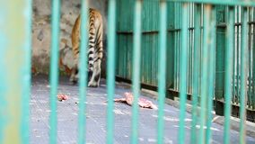 El tigre de Bengala camina alrededor de su jaula almacen de video
