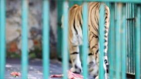 El tigre de Bengala camina alrededor de su jaula detrás de enrejado verde almacen de video