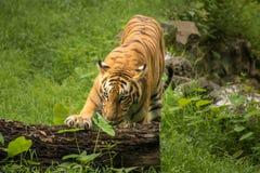El tigre de Bengala descansa su pata en un tronco de árbol caido en una reserva del tigre en la India Imagen de archivo