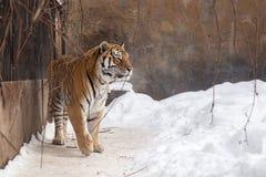 El tigre de Bengala o el Panthera el Tigris era jaula sola Imagen de archivo