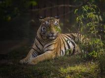 El tigre de Bengala real fotografía de archivo