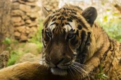 El tigre, depredador felino al borde de la extinción Fotografía de archivo