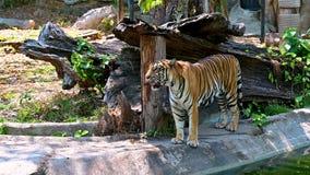 El tigre es fresco en el vídeo del bosque 4 k almacen de metraje de vídeo