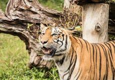 El tigre es un animal despredador Imagenes de archivo