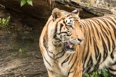 El tigre es un depredador con ferocidad en un bosque grande Imagenes de archivo