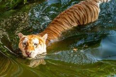 El tigre está en la piscina a refrescarse abajo fotografía de archivo