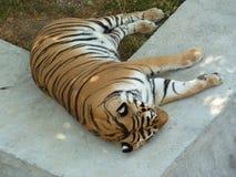 El tigre grande duerme en la sombra de árboles fotos de archivo